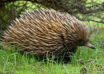 Фауна Австралии вызывает восхищение. Ехидна