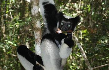 В национальный парк Андасибе-Мантадиа приезжают, чтобы полюбоваться лемурами, хамелеонами