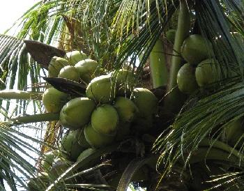 Кокосовые плантации на островах Американского Самоа