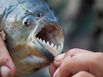 охота на знаменитую рыбу пиранью