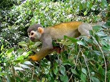 Бразилия – страна, где много- много диких обезьян