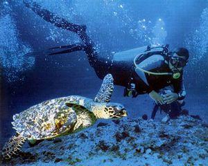 Черепахи-каретты населяют нашу планету уже порядка 95 миллионов лет