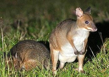 Самый мелкий представитель - мускусный кенгуру