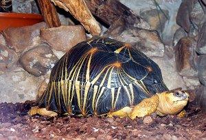 Лучистая черепаха, обитающая на Мадагаскаре