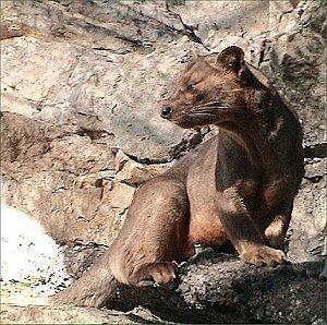 Фосса - самый крупный хищник Мадагаскара