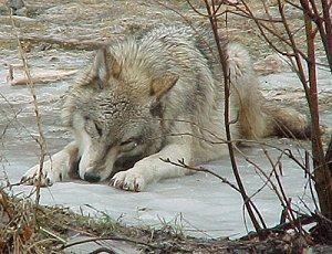 Азербайджанский волк