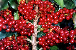 кофейные плантации Австрии