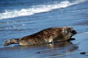 Тюлень – крабоед
