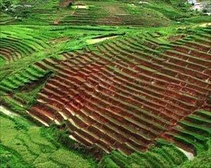 Рисовые поля на Мадагаскаре