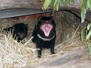 тасманийский дьявол показывает свой характер