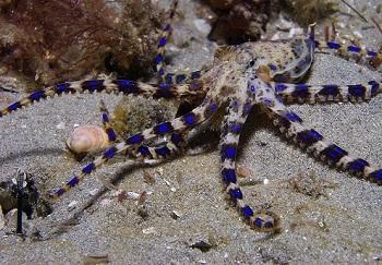 Здесь можно увидеть своими глазами голубого осьминога