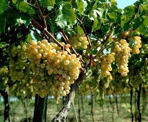 Виноград в Греции