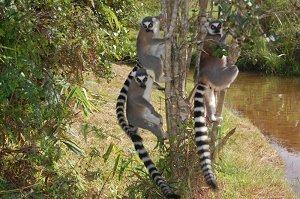 Лемуры - национальный символ Мадагаскара