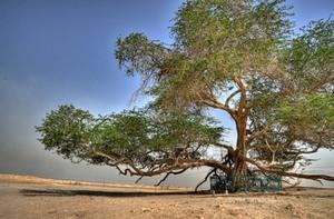 Дерево жизни которому уже 400 лет