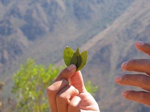 Правительство США напрямую связало оказание экономической помощи Боливии с истреблением плантаций коки