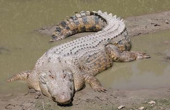 охота на крокодилов сейчас строго лимитирована