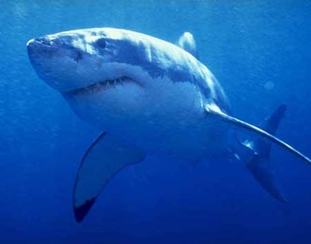 Акула - людоед