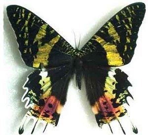 Мадагаскарская урания - одна из самых красивых бабочек