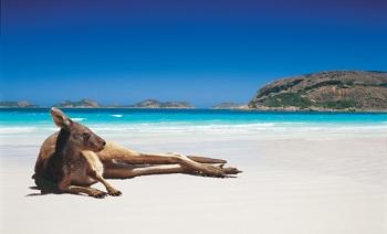 Австралия ассоциируется с дикими собаками «Динго» и многочисленными кенгуру