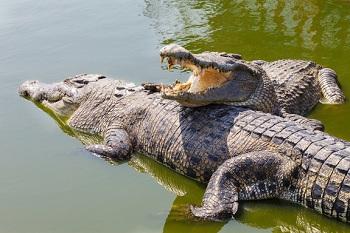 Крокодиловая ферма в Австралии
