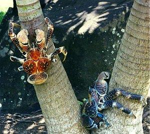 Пальмовые крабы
