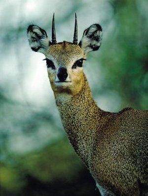 По истине редкий вид антилопа сасса, она же клипшпрингер или просто антилопа-прыгун