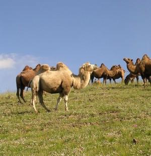Наивысшим богатством для монгола по-прежнему остается скот: лошади, бараны, верблюды