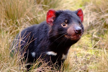 интересный хищник тасманийский дьявол
