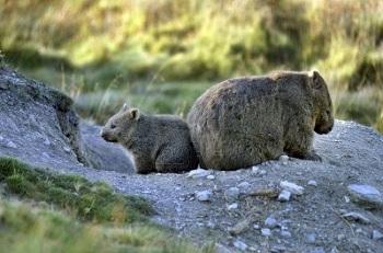 Вомбат – самый большой грызун земли, водится только в Тасмании