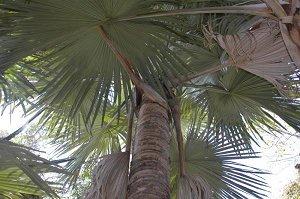 Tahina spectabilis или благрсловенная пальма