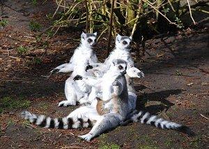 Катта - кошачьи лемуры