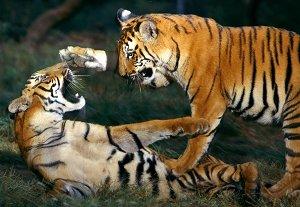 Бенгальский хищник