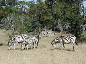 Зебры в Анголе