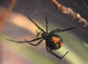 Ядовитые пауки Австралии