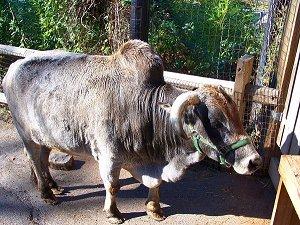 Мадагаскарский зебу - горбатая корова
