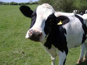 Двести коров Матимура относятся к молочной породе