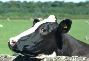 У каждой коровы есть свой коровий паспорт с указанием, имени, отчества, фамилии (принадлежности к хозяйству), даты и места рождения