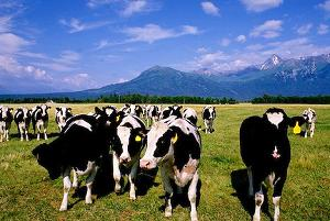 тучные стада коров