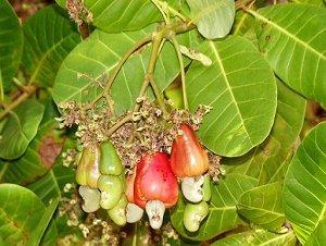 Так растет орех - кешью