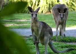 Дикие кенгуру в Тасмании