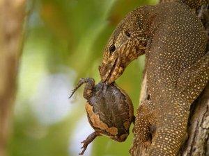 Нильский варан представляет собой одну из самых крупных и распространённых ящериц в Африке