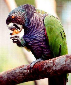 К местным достопримечательностям многие относят и обитателей орнитофауны вулкана - попугаев-сиссеру