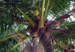 Кокосовая пальма, ее листья и орехи являются основной пищей островитян