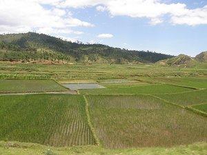 Рисовые поля в окрестностях Антананариву
