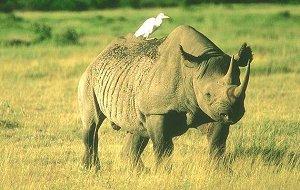 Ангола-носорог