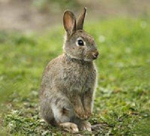 пушистые кролики в Австралии
