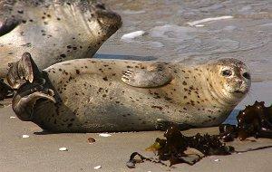 Обыкновенные тюлени
