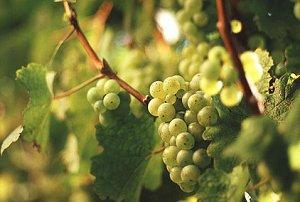 белый сорт винограда Торонтас