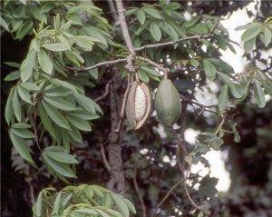 Капок - хлопковое дерево