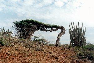"""дерево """"Диви-Диви"""""""